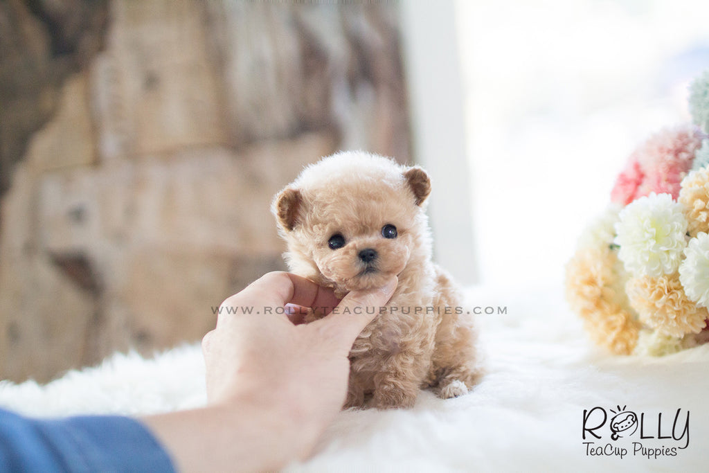 free small puppies near me buttercup poodle f rolly teacup puppies 1393