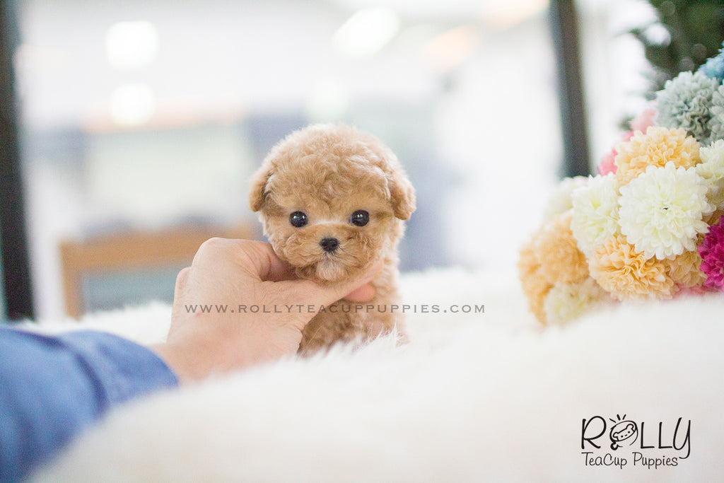 Cody - Poodle. M - Rolly Teacup Puppies
