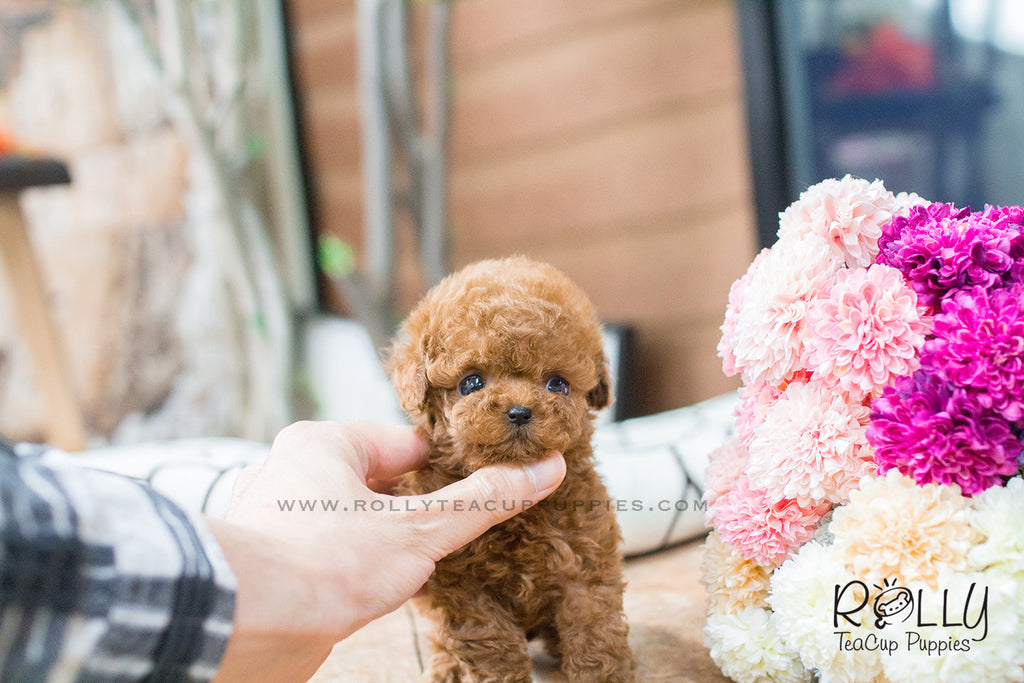 wendy poodle f rolly teacup puppies. Black Bedroom Furniture Sets. Home Design Ideas