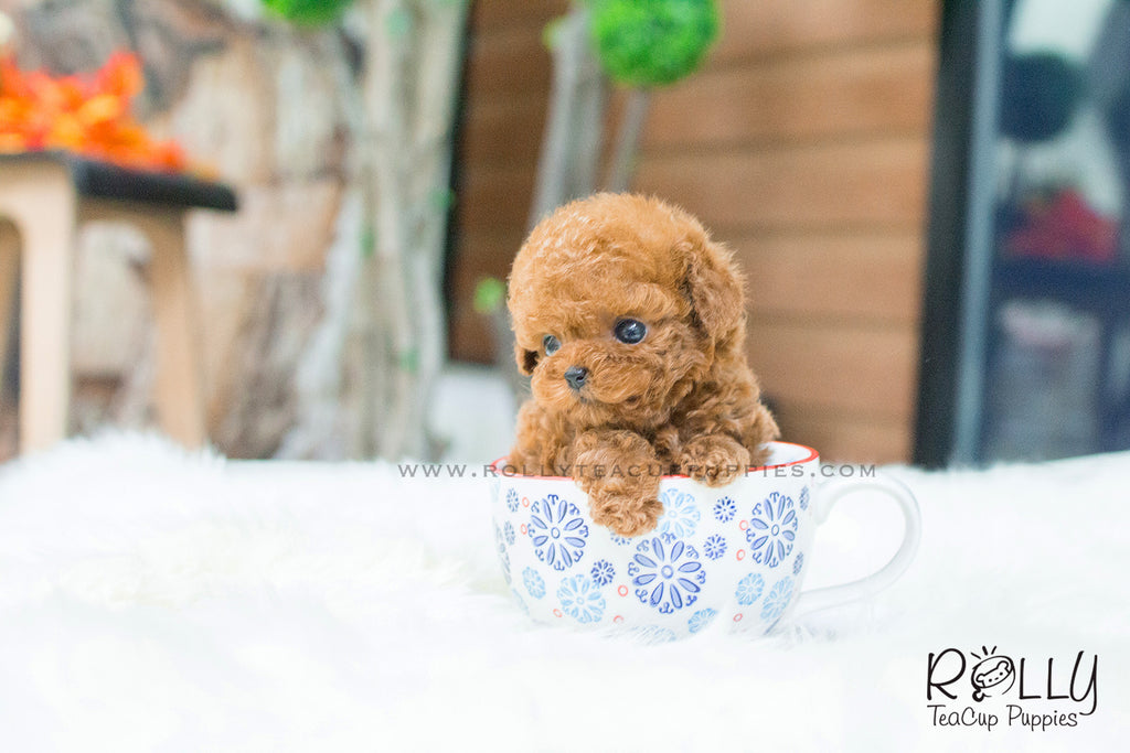 Wendy - Poodle. F - Rolly Teacup Puppies