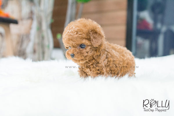 wendy   poodle f rolly teacup puppies