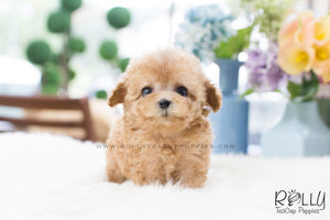 Uggi - Poodle - Rolly Teacup Puppies
