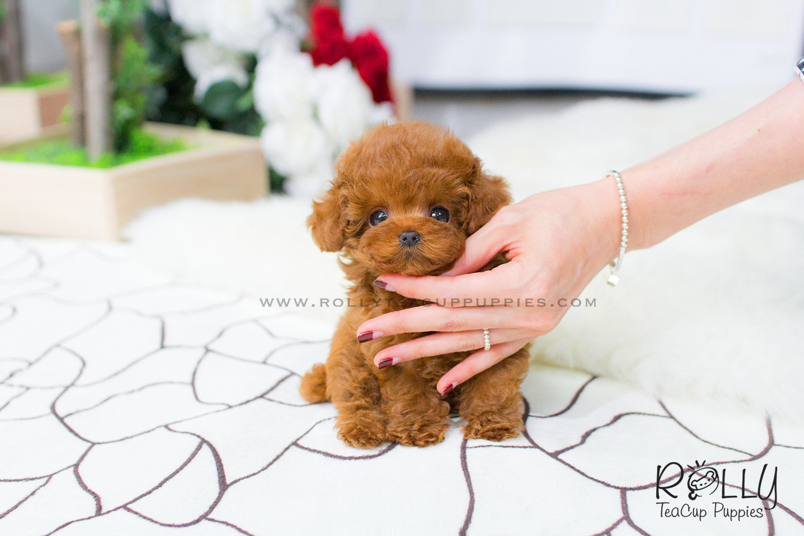 Bridget Poodle Rolly Teacup Puppies