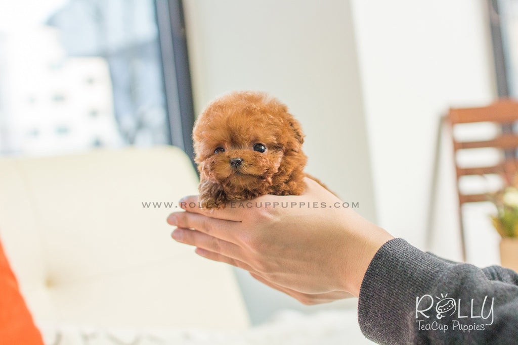 Cooper - Poodle. M - Rolly Teacup Puppies