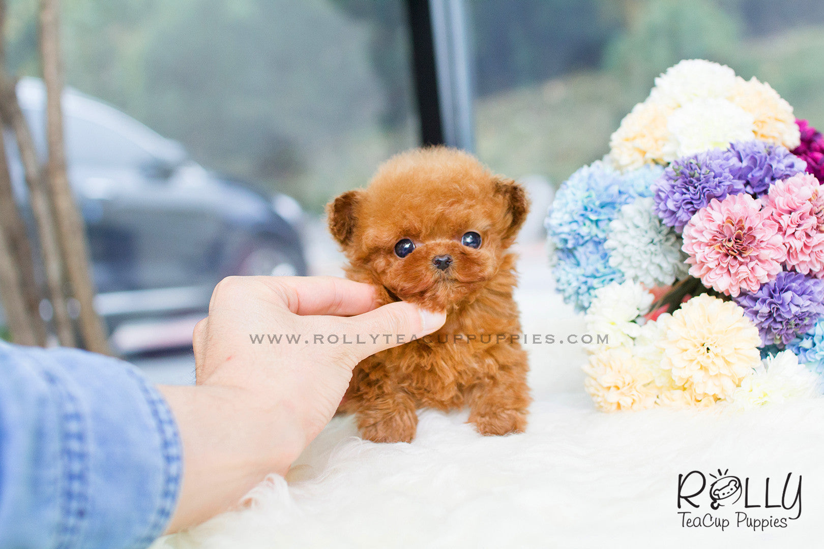 American Express Near Me >> Zoey - Poodle. F– Rolly Teacup Puppies