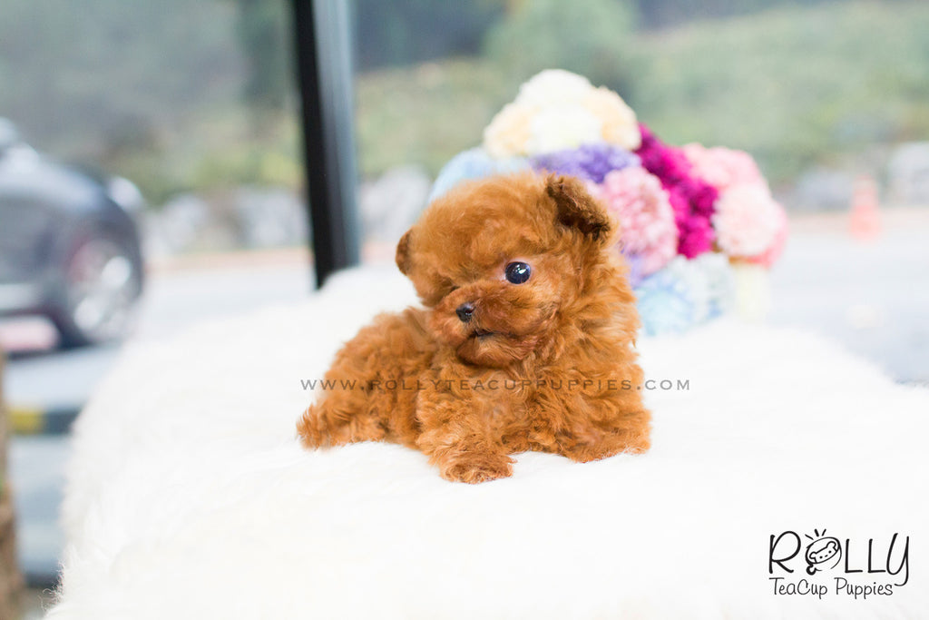 zoey poodle f rolly teacup puppies. Black Bedroom Furniture Sets. Home Design Ideas