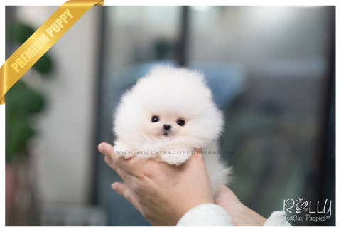 (SOLD to Begovic) Popcorn - Pomeranian. M