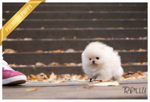 (PURCHASED by Kane) POPCORN - Pomeranian. M - Rolly Teacup Puppies - Rolly Pups