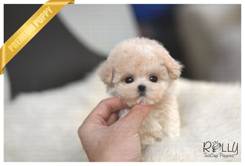 (Reserved by Parraga) Popo - Poodle. M - Rolly Teacup Puppies