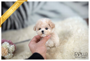 (Purchased by Parraga) Popo - Poodle. M - Rolly Teacup Puppies