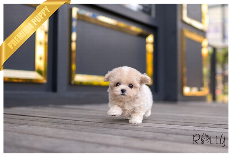 (PURCHASED by BRINN) POSIE - Maltipoo. F - Rolly Teacup Puppies - Rolly Pups