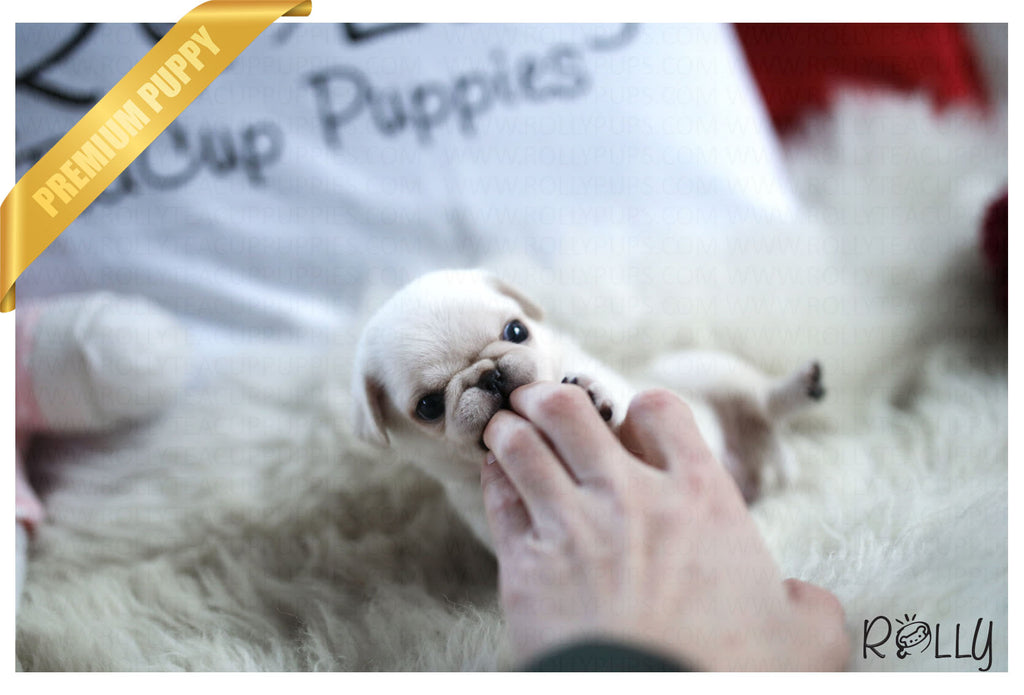 (Purchased by Barrett) Posie - Pug. F - Rolly Teacup Puppies - Rolly Pups