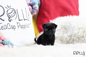 (Purchased by Grubbs) Posie - Pug. F - Rolly Teacup Puppies