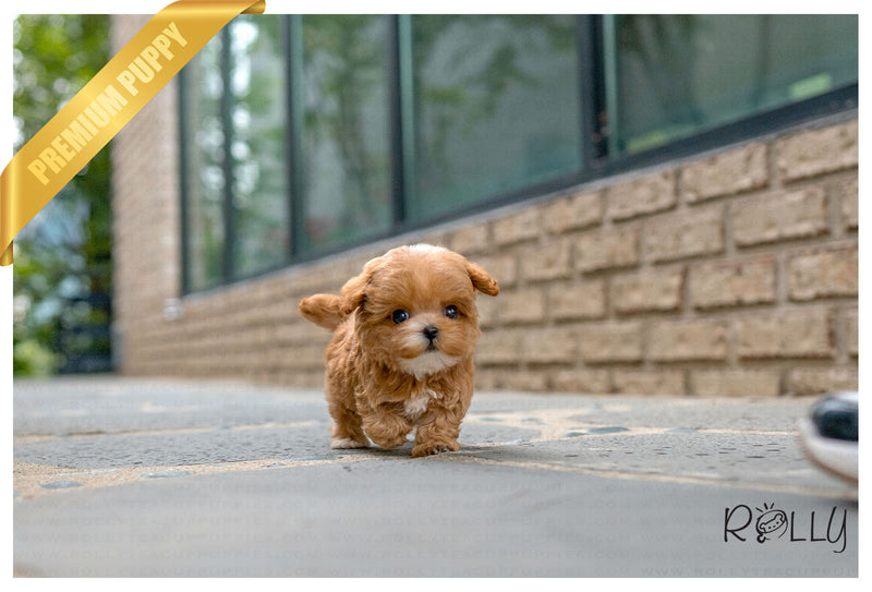 (RESERVED by Bufano) PRESTON - Maltipoo. M - Rolly Teacup Puppies