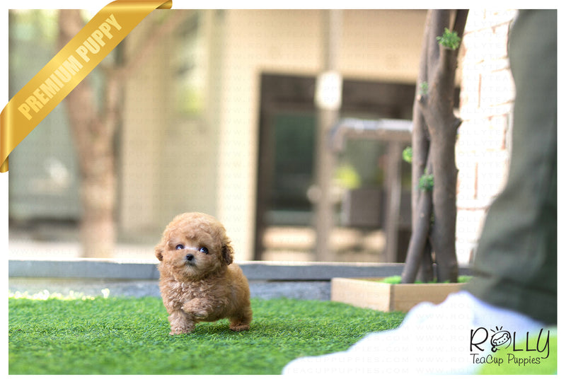 (SOLD to Kinanti) Pretzel - Poodle. F - Rolly Teacup Puppies