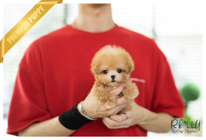 (Purchased by Gilson) Pretzel - Poodle. M - Rolly Teacup Puppies - Rolly Pups