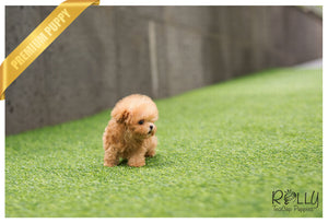 (Purchased by Gilson) Pretzel - Poodle. M - Rolly Teacup Puppies