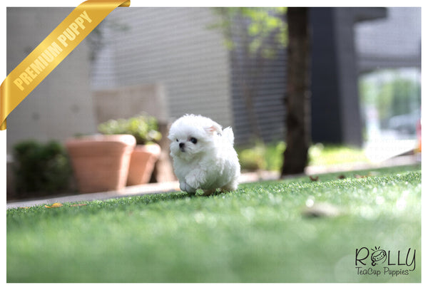 (RESERVED to Kinanti) Prince - Maltese. M - Rolly Teacup Puppies