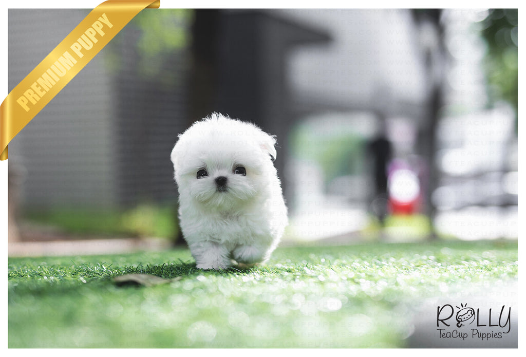 (SOLD to Kinanti) Prince - Maltese. M - Rolly Teacup Puppies