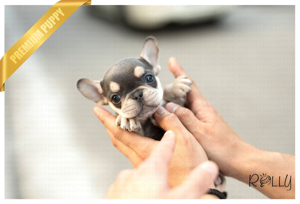 (Purchased by Ellis) Princess - French Bulldog. F - ROLLY PUPS INC