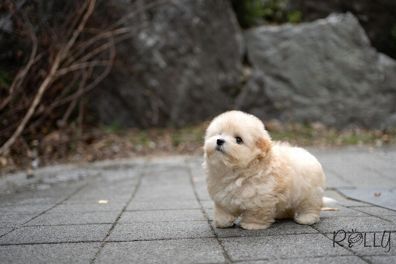 (RESERVED by ANFINSON) PUFF - Coton. F - Rolly Teacup Puppies - Rolly Pups