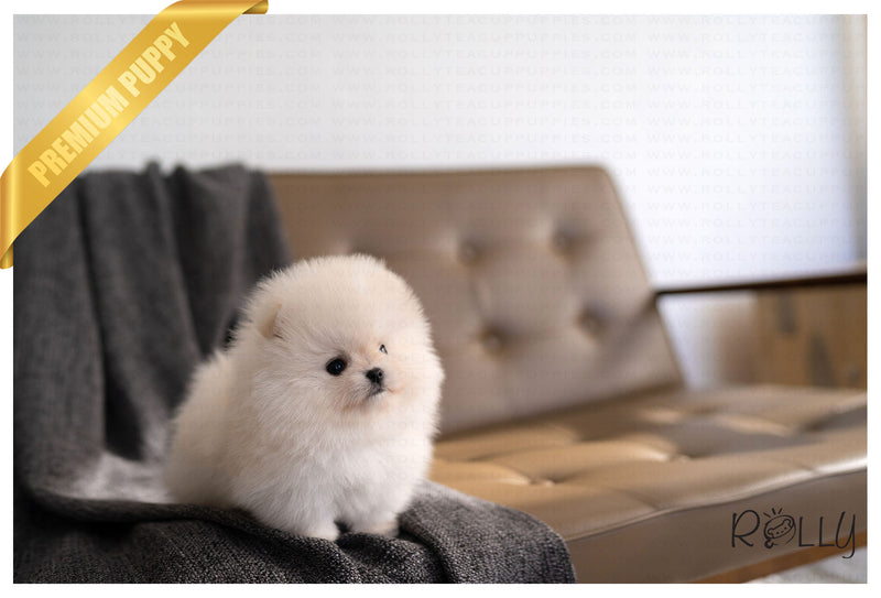(PURCHASED by Peralta) PUFF - Pomeranian. F - ROLLY PUPS INC