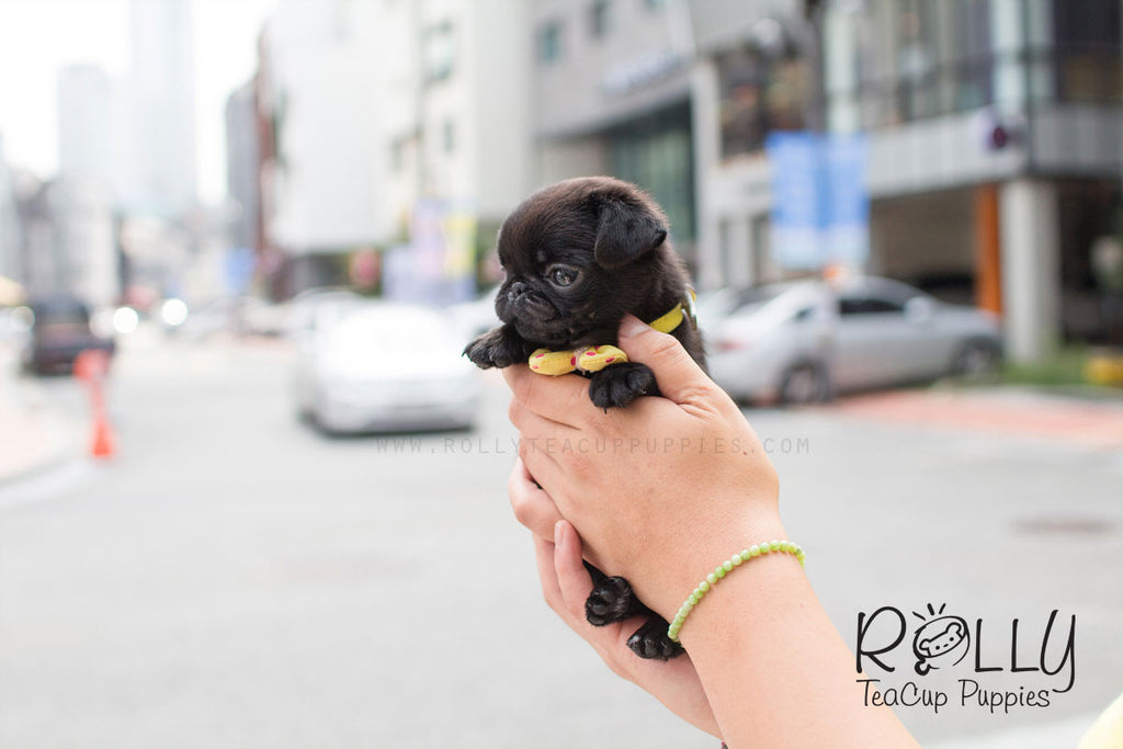 Queeny - Pug - Rolly Teacup Puppies