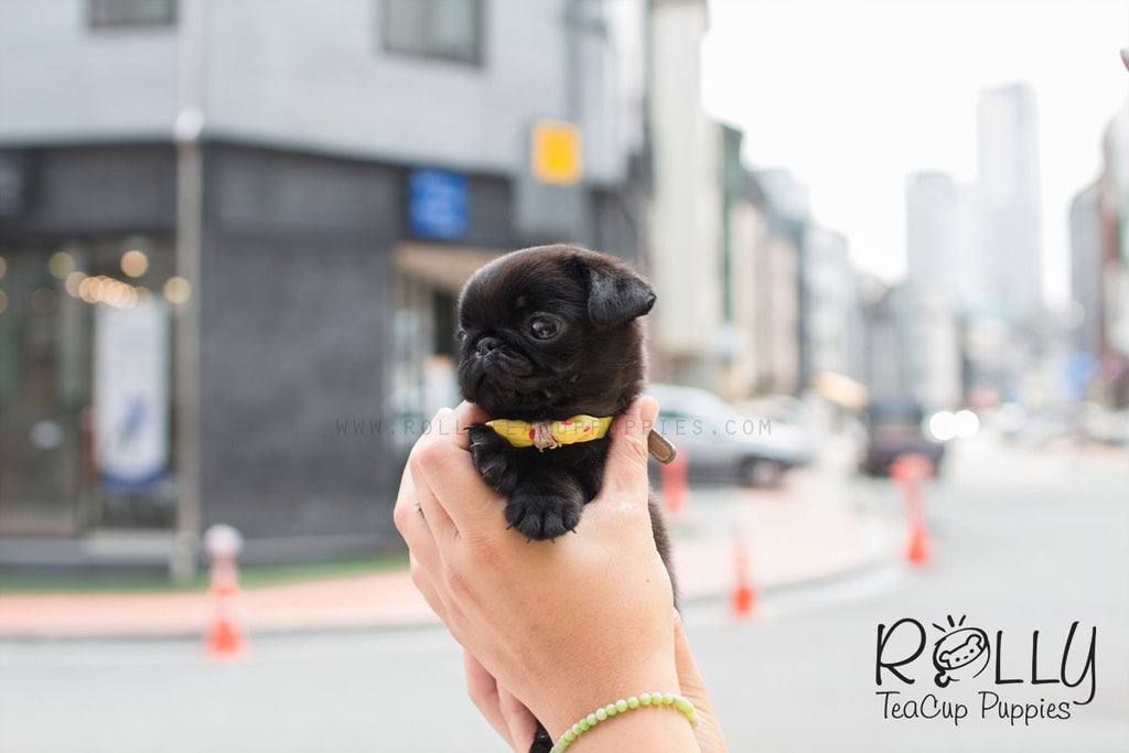 Queeny - Pug - ROLLY PUPS INC