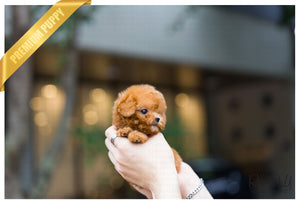 (Purchased by Torrecillas) Pumpkin - Poodle. F - Rolly Teacup Puppies