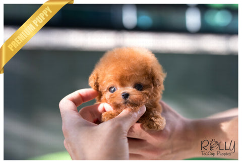 (SOLD to Maya) Pumpkin - Poodle. F - Rolly Teacup Puppies