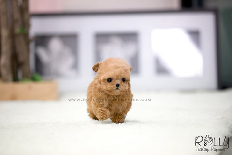 (SOLD to Leeuwen) Pumpkin - Poodle. F