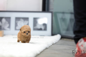(SOLD to Leeuwen) Pumpkin - Poodle. F - Rolly Teacup Puppies