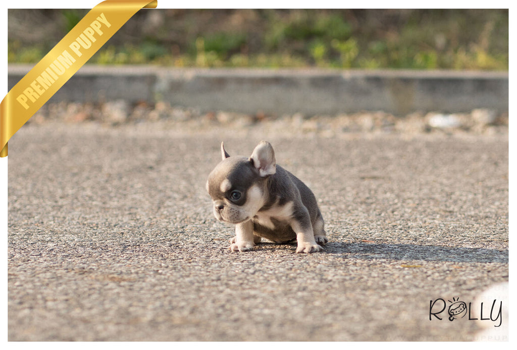 (Purchased by Bouvier) Queen - French Bulldog. F - Rolly Teacup Puppies