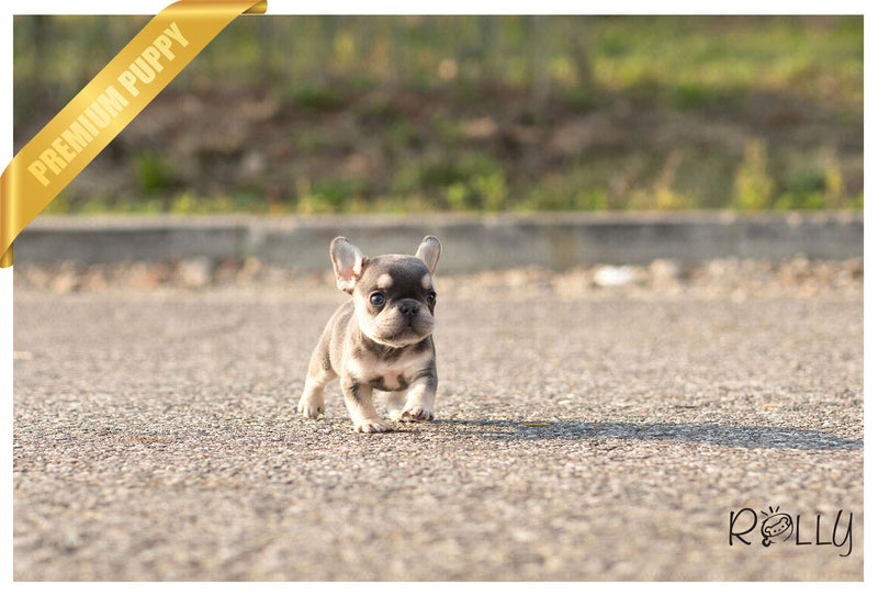 (Purchased by Bouvier) Queen - French Bulldog. F - Rolly Teacup Puppies - Rolly Pups