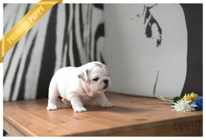 (Purchased by Grizotte) Queen Bee - English Bulldog. F - Rolly Teacup Puppies