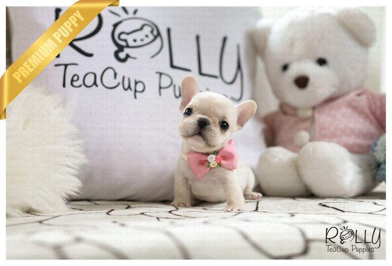 (SOLD to Martell) Queso - French. F - Rolly Teacup Puppies - Rolly Pups