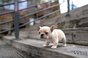 (PURCHASED by Crossman) QUESO - Frenchie. M - Rolly Teacup Puppies - Rolly Pups
