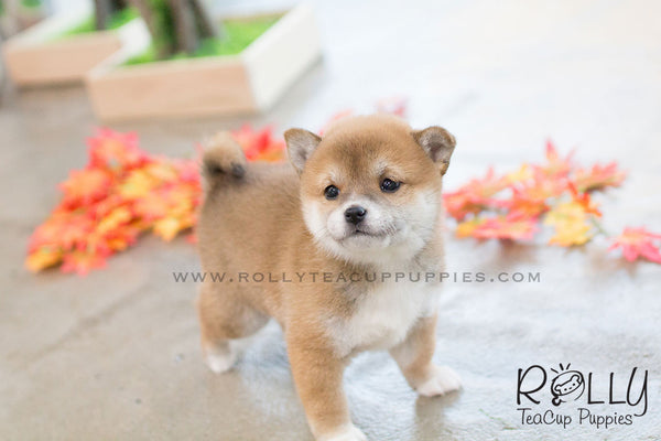 (SOLD to Morimoto) Lynn - Shiba Inu. F - Rolly Teacup Puppies