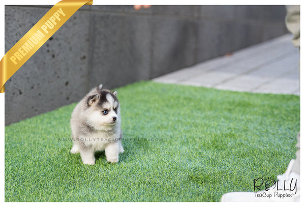 (SOLD to Sulaiman) Rain - Pomsky. F