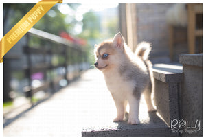 (SOLD to Carneiro) Rain - Pomsky. F - Rolly Teacup Puppies - Rolly Pups