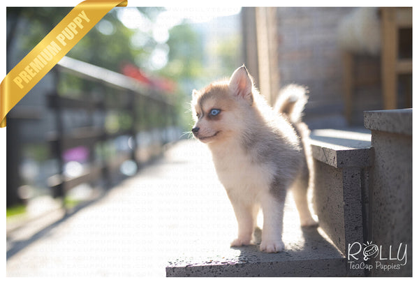 (SOLD to Carneiro) Rain - Pomsky. F - Rolly Teacup Puppies