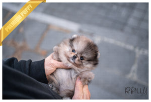 (Purchased by Jones) Raisin - Pomeranian. M - Rolly Teacup Puppies