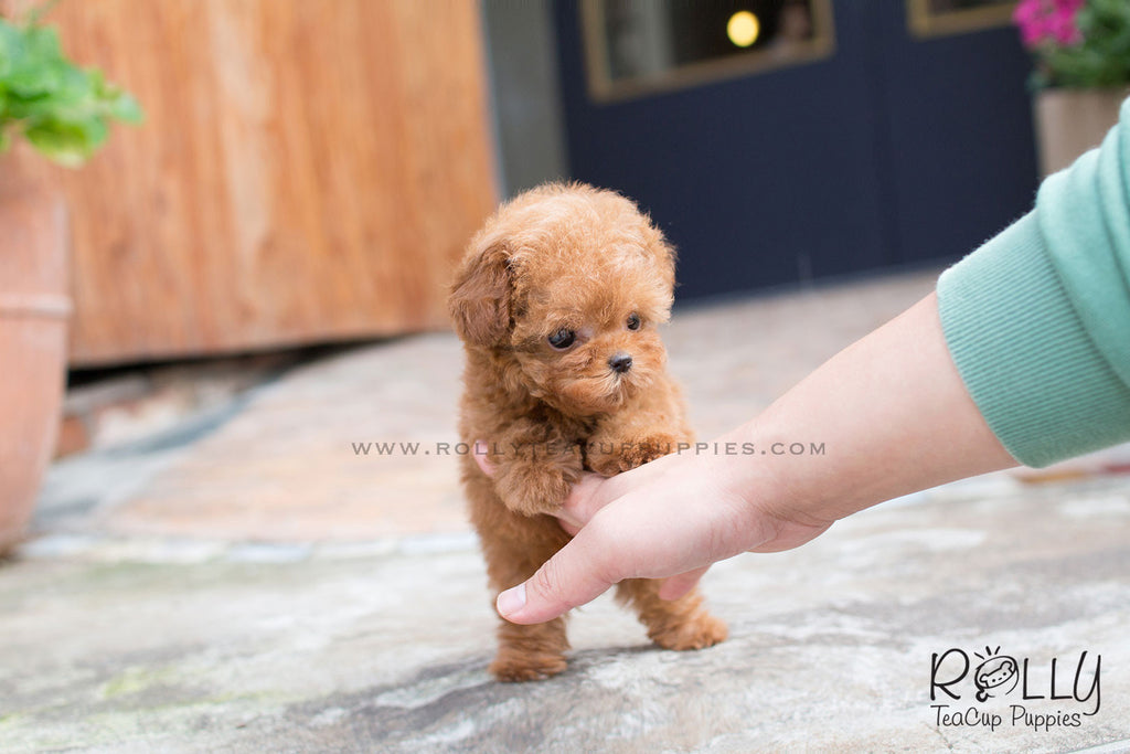 Teddy - Poodle - Rolly Teacup Puppies