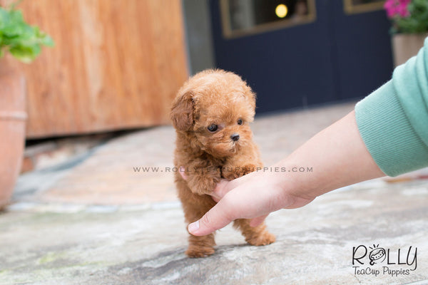 Teddy - Poodle
