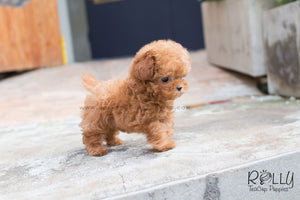 Teddy - Poodle - Rolly Teacup Puppies - Rolly Pups