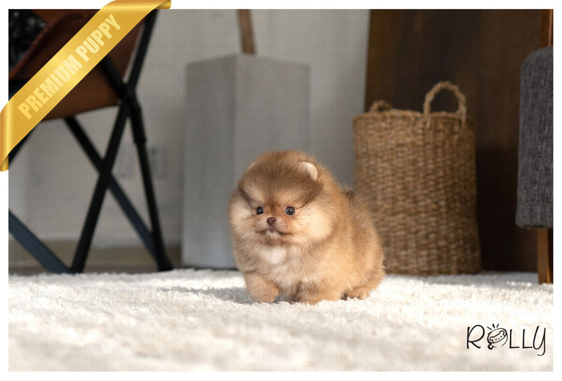 (PURCHASED by Vazquez) REESE - Pomeranian. F - ROLLY PUPS INC