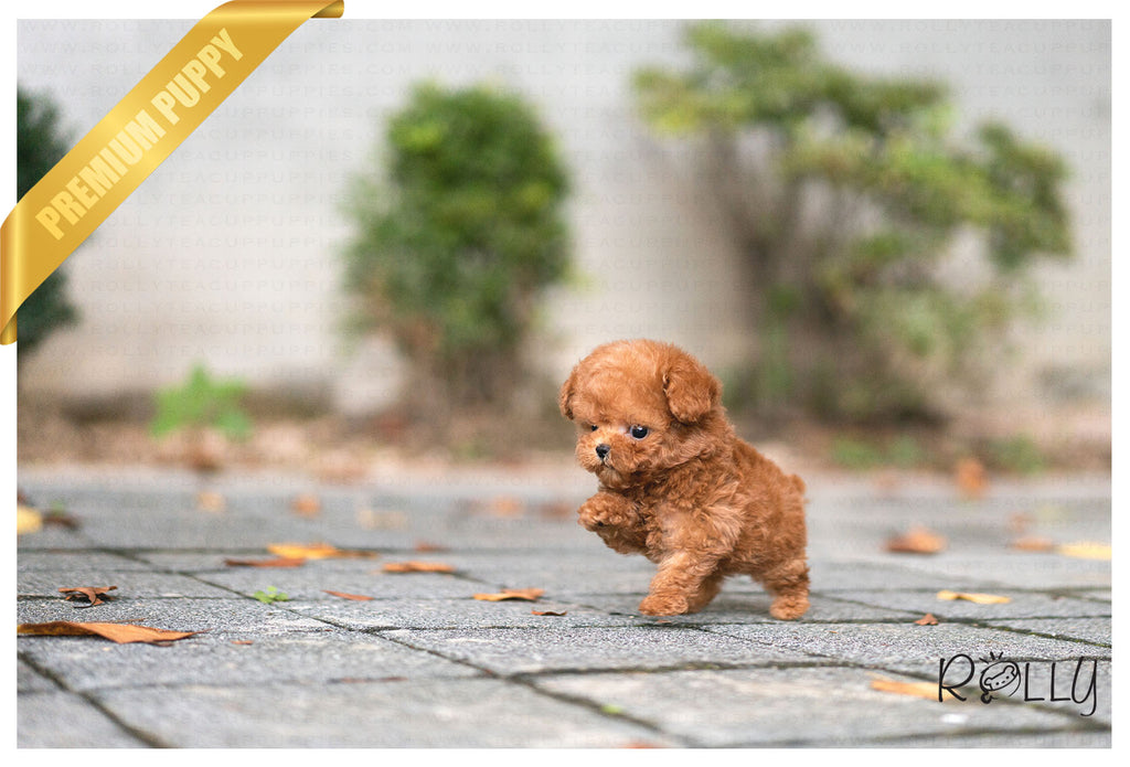 (Purchased by Jury) Remy - Poodle. M - ROLLY PUPS INC