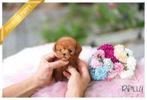 (Purchased by Jury) Remy - Poodle. M - Rolly Teacup Puppies