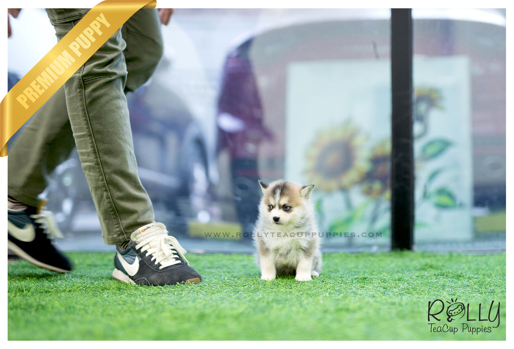 (SOLD to Amro) Rex - Pomsky. M - Rolly Teacup Puppies