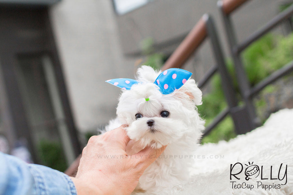 Jessie - Maltese - Rolly Teacup Puppies